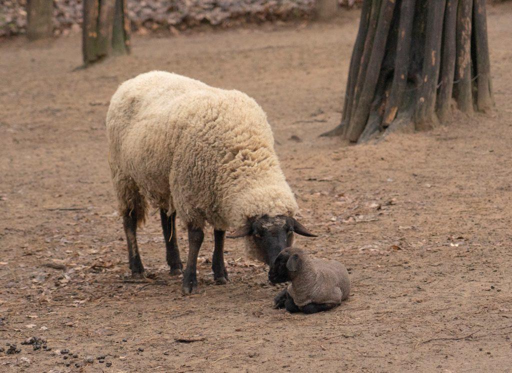 Tsigai lambs
