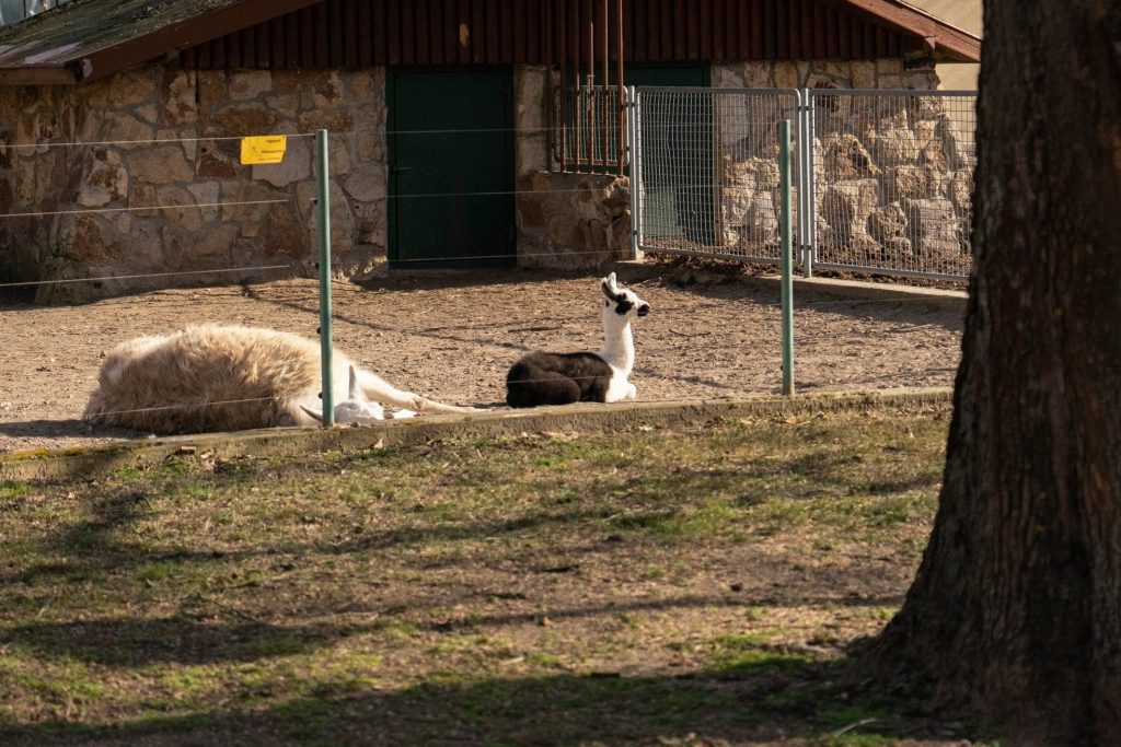 black and white lama 2020